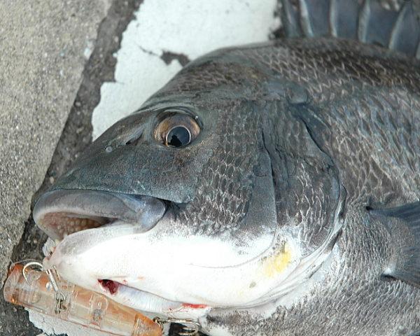 こだま渡船 カセ釣り釣果 2020/04/12